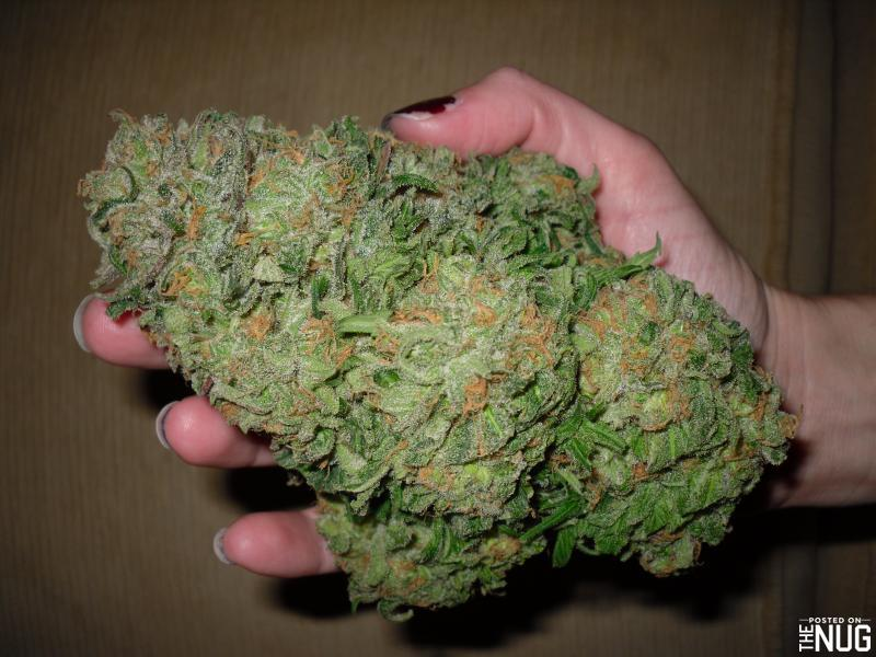 Massive nug of blueberry - Blueberry Haze Marijuana Strain